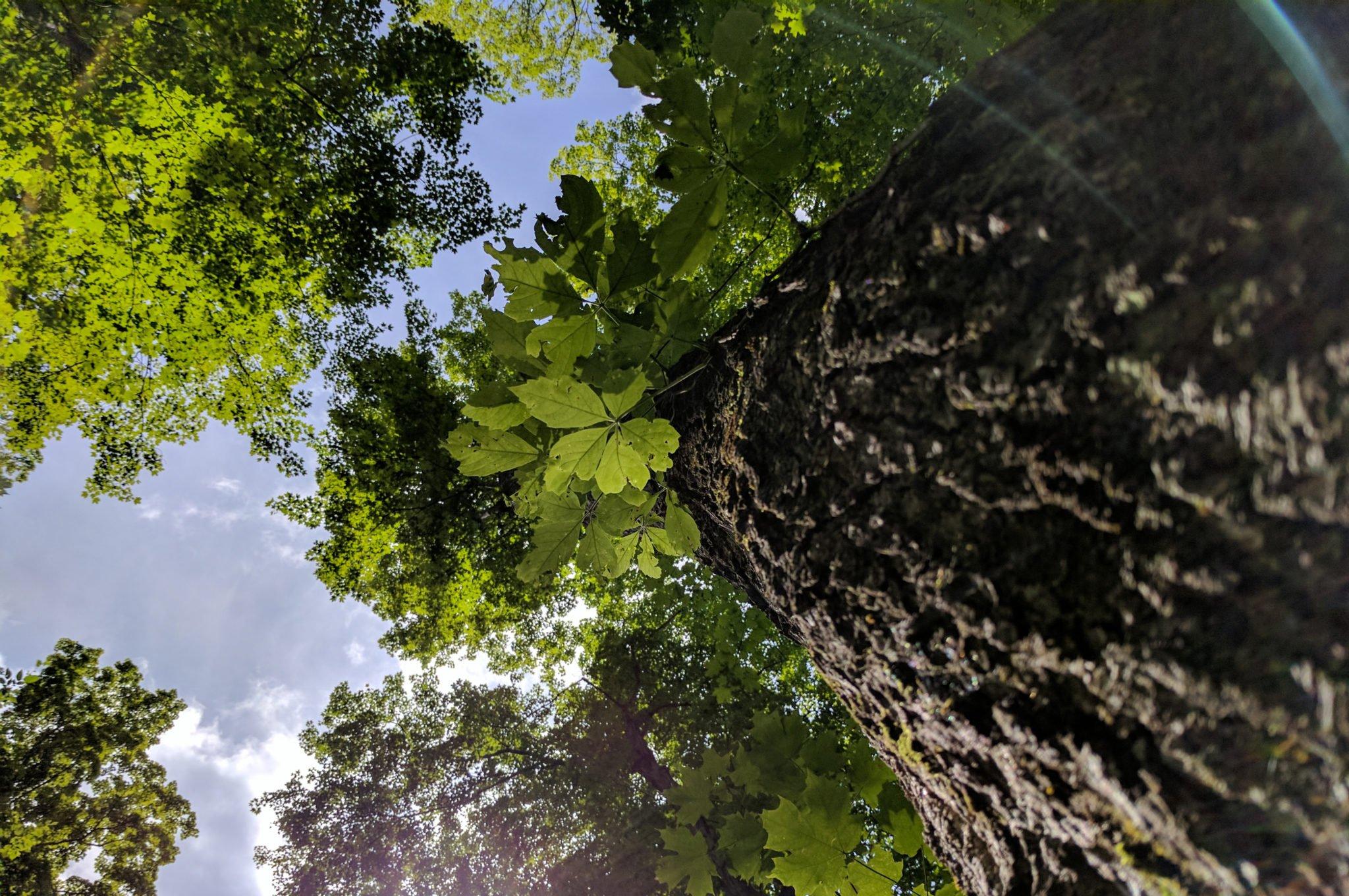 Giant Maple