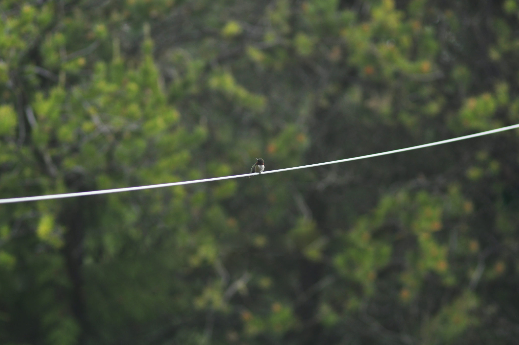 Hummingbird on a Wire